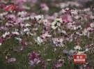 秋风起花正开 满园芬芳迎客来