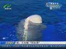 """趣闻:大白鲸""""拜年秀"""""""