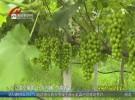 【特产代言】盱眙县穆店镇马湖村:20万斤有机葡萄成熟   香甜可口回味无穷
