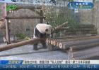 """动物过中秋:熊猫月饼""""私人定制""""  矮马一家三口其乐融融"""
