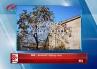 10月24日手机拍拍拍 张灯结彩柿子树