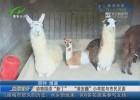"""动物园添""""新丁""""  """"淮安籍""""小羊驼与市民见面"""