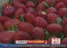 冬季草莓抢鲜上市  过量使用可致儿童性早熟