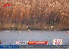 洪泽湖湿地迎来上千只越冬候鸟  水鸟相依自成风景
