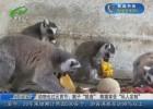 """动物也过元宵节:猴子""""挑食"""" 熊猫享受""""私人定制"""""""