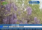 百年紫藤进入盛花期