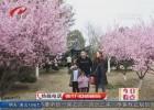 【春日美景】美人梅娇艳吐蕊  粉色花海惊艳春天