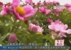 金湖吕梁芍药花旅游文化节开幕 千亩芍药花竞相绽放