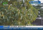 桂花飘香 游园正当时