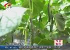 【咱村特产,我来代言】丁集黄瓜:一亩黄瓜十亩粮