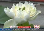 三伏天里荷争艳  消暑赏花正当时