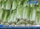 """生活科普:大白菜上的""""小黑點""""到底是什么?"""