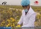 【壯麗70年 奮斗新時代】發展菊花特色產業  為鄉村振興添助力