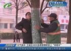 """天气渐冷 主城区4000多棵香樟树穿上""""保暖衣"""""""