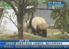 熊猫馆升级改造 大熊猫阿宝、隆浜月底暂别淮安