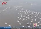 """盱眙縣迎來大批越冬候鳥  七里湖濕地秒變""""天鵝湖"""""""