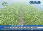 特色农产品滞销  刘河村数百亩萝卜亟待买主