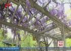 清道光年间栽植紫藤盛开 180多年沐风栉雨绽菁华