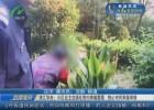 清江華府:小區業主在綠化帶內種植罌粟  熱心市民積極舉報