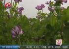 白马湖畔遍开紫云英  有机稻米种植托起农民致富梦