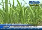 """【社会主义制度好】阴雨连绵影响水稻生长  农技专家深入田间地头为农民""""把脉支招"""""""