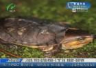 """人与自然:市民在小区内散步时捡到一只""""怪""""乌龟  竟是国家一级保护动物"""