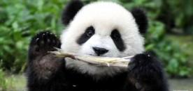 """""""熊猫摄影师""""养成记"""